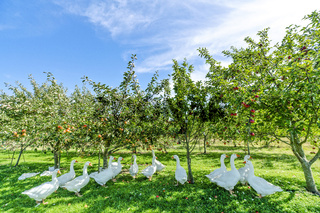 Geese under apple trees in a rural environment