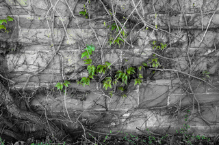 Brick wall with vine plant black white green