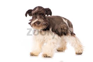 Toy snauzer dog isolated on white background