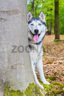 Husky dog looks from behind tree trunk