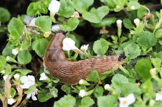 Spanish slug (Arion vulgaris) in the garden