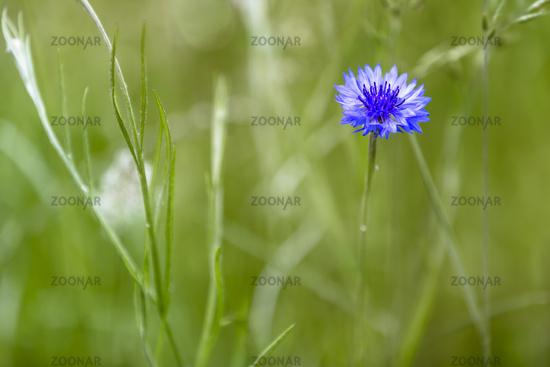 Flowering blue cornflower (Cyanus segetum) on a meadow