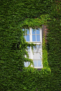Window of old house on wall mantled with ivy