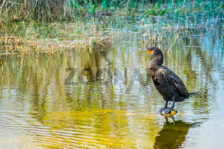 Double Crested Cormorant birds in Everglades National Park, Florida