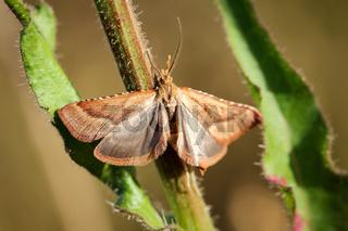 Schmetterling, Widderchen, Falter an einer Pflanze