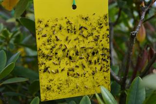 Gelbfalle, Insektenfalle, Insekten