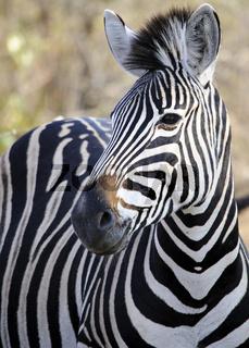 Burchell's zebra (Equus quagga burchellii) in the bush, South Africa