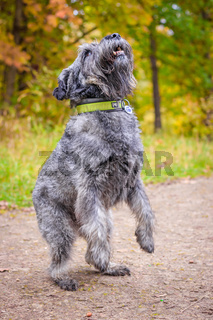 Miniature schnauzer dog for a walk in the autumn park. Dog with a haircut for a walk. . Dog on a walk.