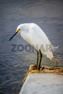 A Snowy White Egret in Sanibel Island, Florida