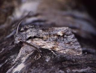 Nachtfalter sitz an Baumstamm zur Tarnung