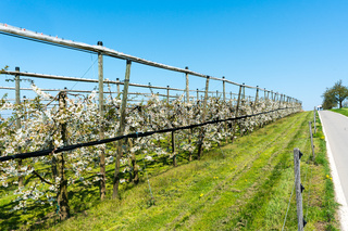 rows of blossoming low-stem cherry trees in an orchard with bright white blossoms under a clear blue sky