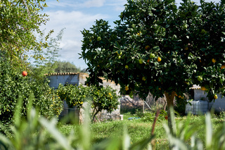 Ripe citrus fruits on tree