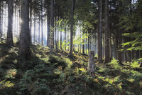 Deister - Spruce forest in the backlight, Germany