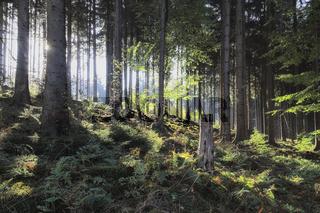 Deister - Fichtenwald im Gegenlicht, Deutschland
