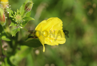 Oenothera glazioviana, common names large flowered evening primrose and redsepal evening primrose