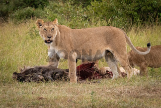 Lioness stands over wildebeest carcase with cubs