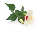 White hibiscus on white background