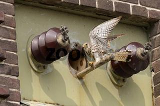 Neubürger in der alten Trafostation... Turmfalke * Falco tinnunculus *