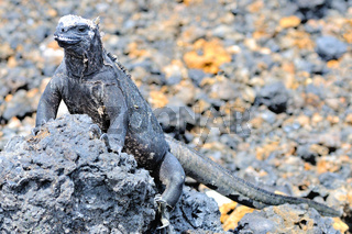Las Tintoreras Meerechse Galapagos