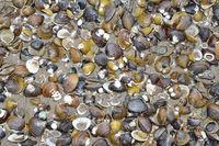 Asian Clam Mussels (Corbicula fluminea) in Rhine River,Germany